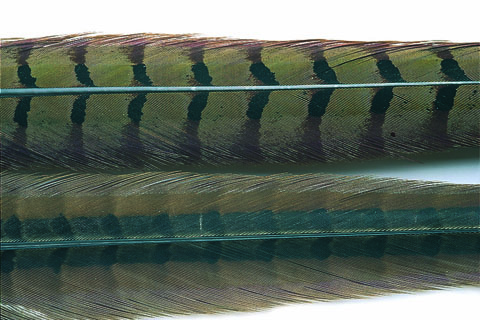 Cock Pheasant Centre Tail Feathers - Natural Or Dyed - Veniards