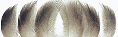 Mallard Duck Selected Bronze Mallard Shoulders - 6 matched plumes