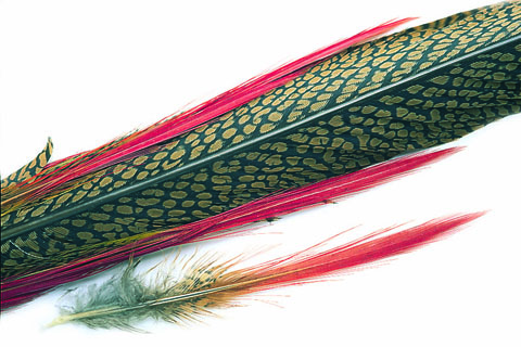 Golden Pheasant Complete Tail