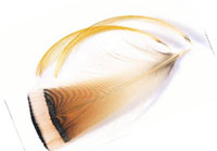 Golden Pheasant Topping Or Barred Tippet Feathers