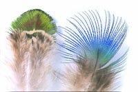 Peacock Blue Neck