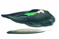 Teal Duck Wings (pair)